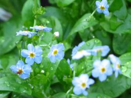 Indigo Blue Forget-Me-Not Flowers by Kitteh-Pawz