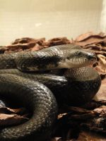 Black Rat Snake Stock 1 by stormymay888