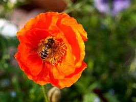 Bee on Orange Flower by Siphotografx