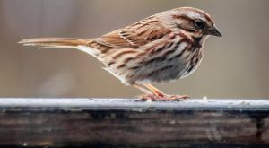 Song Sparrow by Maginater