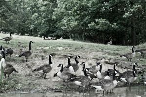 Geese Gather Here by JesseLeeTTW