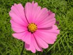 Pink Cosmos by JocelyneR