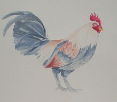 Rooster by Sifle