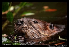 Beaver Portrait by TVD-Photography