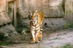 Siberian Tiger by E-Davila-Photography