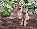 Wolf pups at last by woxys