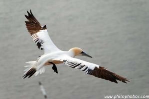 northern gannet I by Philophobos