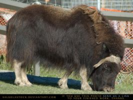 MuskOx Cow 5 by SalsolaStock