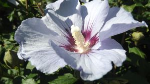 Purple Rose Of Sharon Hibiscus 3 by mc1964