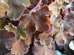 Frosted heuchera by buttercupminiatures