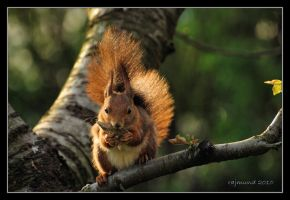 A squirrel in the setting sun by Rajmund67