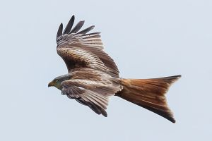 Red Kite by Daniel-Wales-Images