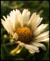 Spring Daisy by louiecablouie