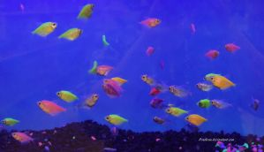Stock - Glofish (Skirt Tetras) 3 by Pendlera