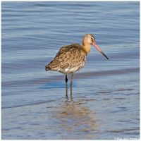 Bar-tailed Godwit by Photographia-Paulo