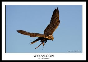 Gyrfalcon by THEDOC4