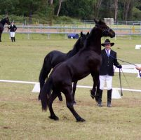 STOCK - Friesian Show 2012-18 by fillyrox
