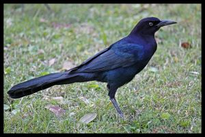 The Grackle 5 by SalemCat