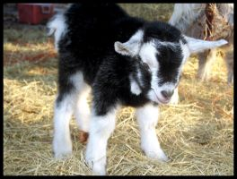 Newborn Goat by MaraBrook
