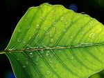 Leaf water droplets by thuvia