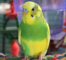 Citrus the Budgie by Murphy1210