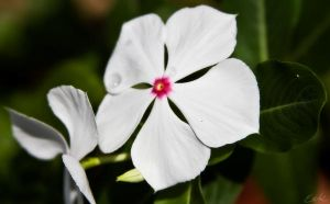 White Flower by wolmers