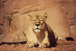 Lioness by photographersamer