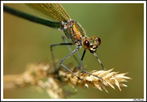 Damselfly Closeup by MrMeik
