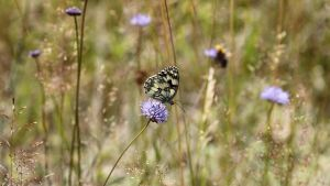 Marbled White by Skaldur