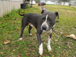 Gray Pitbull 4 - stock by fallbreak-stock