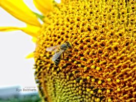 sunflower and bee by boltivec