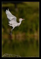 Egret in Flight by MrStickman