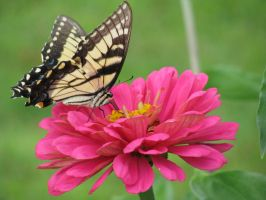 Eastern Tiger Swallowtail II by curiousused