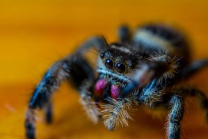 Bold Jumping Spider by Fiend-V
