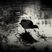 Coot by lostknightkg
