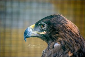Eagle by MichaelNN