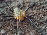 Harvestman by IndianRain