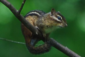 Chipmunk Close-Up by Death-By-Romance