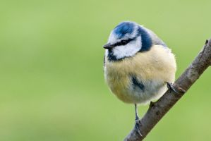 Blue tit 9 by fremlin