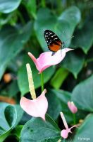 Papillon sur rose tendre by hyneige