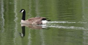 Canadian Goose by JMcCarty09