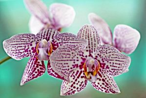 Orchid flowers 10 by a6-k