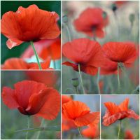 wallpaper poppies by SvitakovaEva