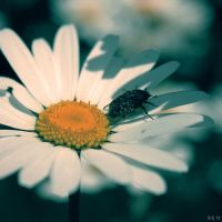 Camomile and bug by SIR13