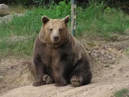 Brown Bear 05 by animalphotos