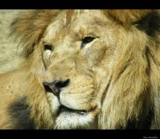 lion1 by Lucie-Lilly