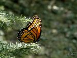 Viceroy by CBarnett-photography