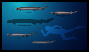 .: Frilled Shark, Chlamydoselachus Sp :. by roesoftheshadows