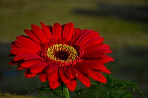 Gerbera the flower by Something1825