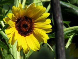 Yellow like the sun by SpeJa